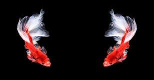 Mezzaluna siamese rossa e bianca del pesce di combattimento, isolat del pesce di betta Immagini Stock