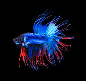 Mezzaluna siamese rossa e blu del pesce di combattimento, isolato del pesce di betta Fotografie Stock