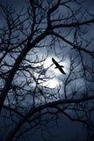 Mezzanotte del corvo Immagini Stock