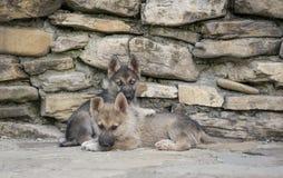 Mezzi cuccioli della razza Immagini Stock