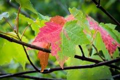 Mezzo Autumn Maple Leaf Fotografie Stock Libere da Diritti