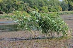 Mezzo di Reed della palude Fotografia Stock