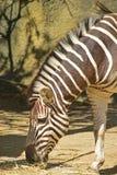 Mezzo ente della zebra che pasce l'erba asciutta sparsa sulla terra Immagine Stock