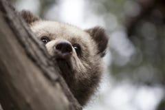 Mezzo orso del bambino del fronte dietro l'albero immagini stock