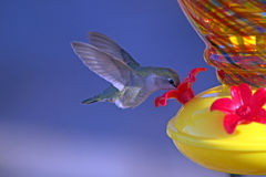 Mezzo volo del colibrì del primo piano che mangia nettare da un alimentatore Fotografie Stock Libere da Diritti