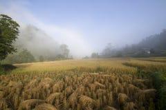 mgła śródpolni ryż Zdjęcia Stock