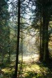 Mgła i pogodni promienie w lesie Fotografia Stock