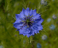 Mgła kwiat fotografia royalty free