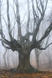 mgła las drzewo nie żyje Zdjęcie Stock