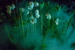 Mgła przy blaskiem księżyca z białymi okwitnięcie kwiatami Fotografia Stock