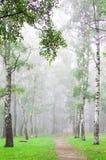 Mgła w jesień brzozy gaju wczesnym poranku Zdjęcie Royalty Free