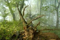 Mgła w lesie obrazy stock