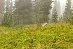 mgława mgła zakrywał łąkę z jelenim karmieniem w ranku fotografia royalty free