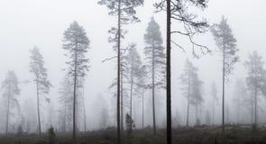 mgłowa sosna leśna Zdjęcia Royalty Free