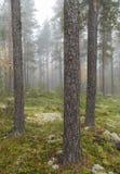 mgłowa sosna leśna Obraz Stock