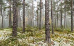 mgłowa sosna leśna Obraz Royalty Free