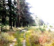 Mgłowy świt w lesie w Sierpień Zdjęcia Stock