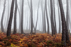 Mgłowy las Zdjęcia Royalty Free