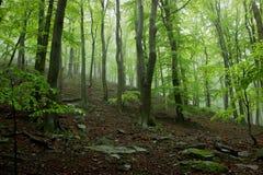 Mgłowy las z Dużymi drzewami Zdjęcie Stock