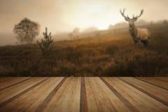 Mgłowy mglisty jesień lasu krajobraz przy świtem z czerwonego rogacza jeleniem w Zdjęcia Stock