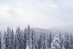 Mgłowy zima dzień w górach z białymi jedlinowymi drzewami na przedpolu Fotografia Stock