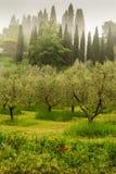 Mgły obwieszenie w oliwnym gaju w Tuscany, Włochy zdjęcia royalty free