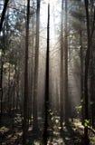 Mgła i pogodni promienie w lesie Fotografia Royalty Free