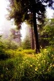 Mgłowi drewna Fotografia Royalty Free