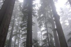 mgłowi lasowi drzewa Obrazy Stock