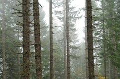 mgłowy lasowy drzew biel drewno Zdjęcie Royalty Free