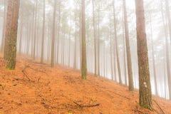 Mgła w sosnowej plantaci Zdjęcie Stock
