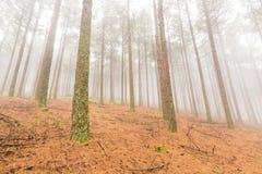 Mgła w sosnowej plantaci Fotografia Stock