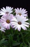 mgły osteospermum kolorze lila Zdjęcia Royalty Free