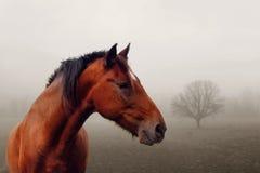 mgła koń brown Zdjęcia Stock