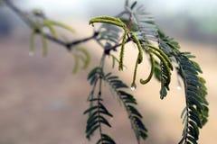 Mgieł kropelki, mgły ogrodzenie, woda opuszczają na babool drzewie zdjęcia stock