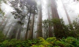 Mgliści drzewa przy Redwood parkiem narodowym Fotografia Stock