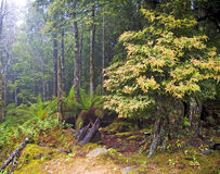 mgliści drewna Zdjęcia Stock