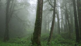 Mglisty Cyprysowy las w Alishan Scenicznym terenie z mg?? i mgie?k? w Tajwan zdjęcie wideo