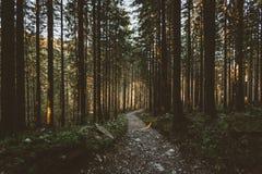 Mglisty las i wiele pionowo drzewa w wieczór zaświecamy Obraz Royalty Free