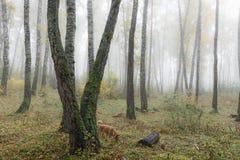 Mglisty ranek w drewnach w spadku Ranek, jesień Zdjęcia Stock