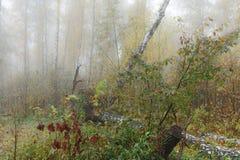 Mglisty ranek w drewnach w spadku Ranek, jesień Zdjęcie Stock