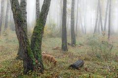 Mglisty ranek w drewnach w spadku Ranek, jesień Obraz Stock
