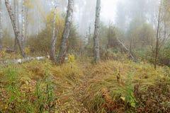 Mglisty ranek w drewnach w spadku Ranek, jesień Fotografia Stock