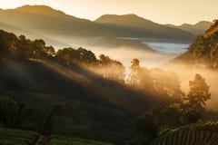 Mglisty ranku wschód słońca w truskawka ogródzie przy Doi Ang Obraz Stock