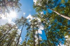 Mglisty sosnowy las na górze Zdjęcia Royalty Free