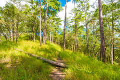 Mglisty sosnowy las na górze Obraz Royalty Free
