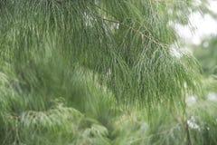 Mglisty zielony naturalny tło sosen gałąź obrazy stock