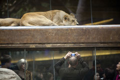 MGM Grand Lion and Tourist Stock Image