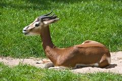 mhorr gazelle Стоковое Фото