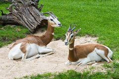 Mhorr Gazelle Stock Photo